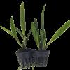 Cây Giống Hoa Lan Brassavola xanh
