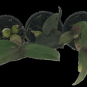 Hoa Lan Hibiki cây con