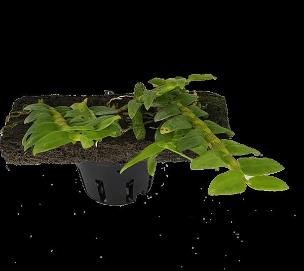 Hoa Lan Trầm Hồng Long