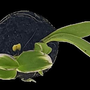 Cây Giống Dendro Đột Biến