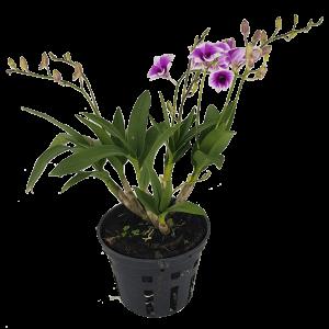 Hoa lan Dendro Mini Yaya